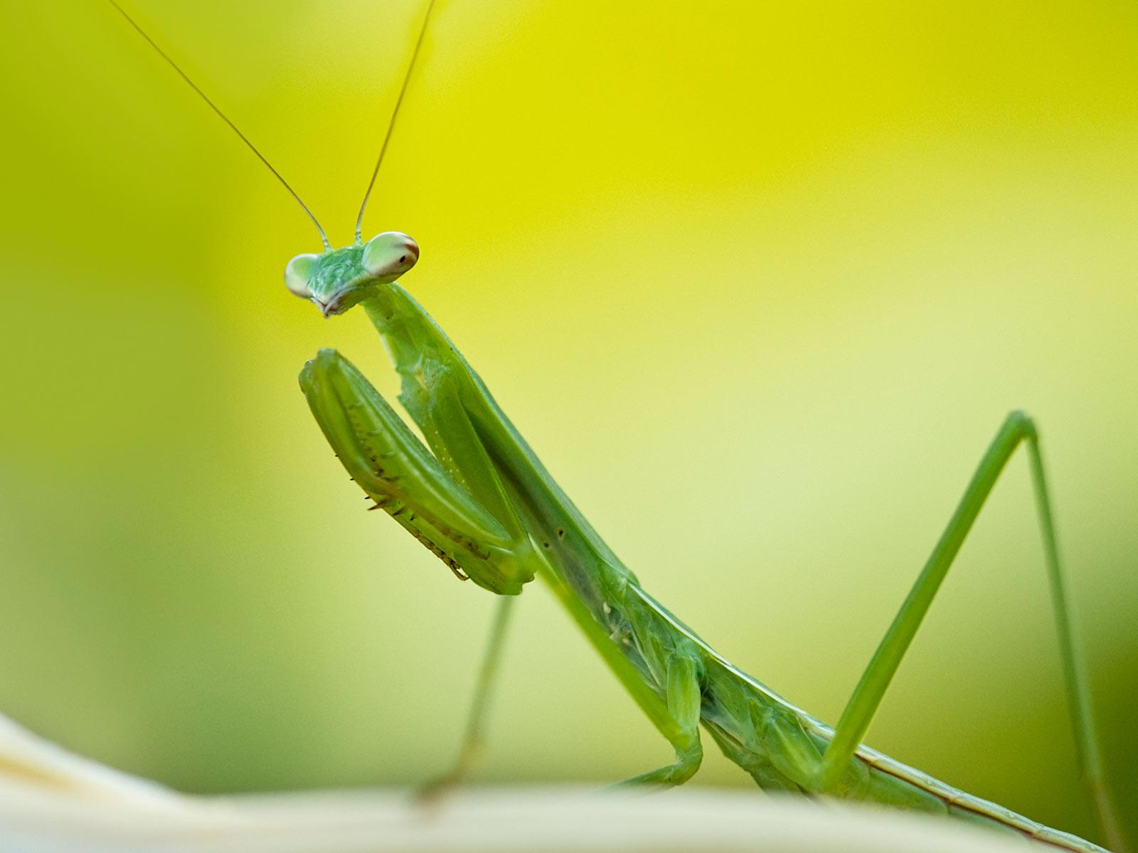 [Image: praying-mantis.jpg]